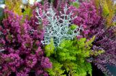 Calluna vulgaris, Leucophyta brownii