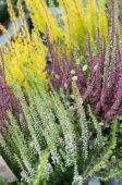 Calluna vulgaris mixed