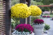 Chrysanthemum on pot