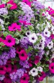 Petunia and Verbena combination