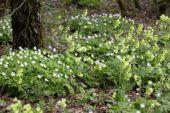 Anemone nemorosa, Primula veris