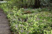 Corydalis, Primula veris