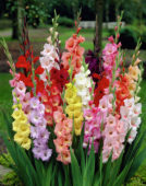 Gladiolus mixed