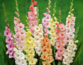 Gladiolus pastel mixed