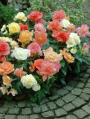 Begonia pastel mixed