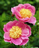 Paeonia Globe of Light