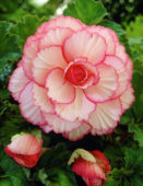 Begonia Picotee white / red