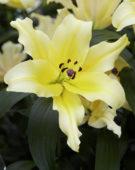 Lilium Baruta