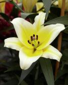 Lilium Catina