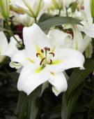 Lilium Cocossa