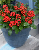 Skimmia japonica 'Moerings 6' PBR Red Berry Bee