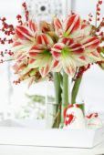 Hippeastrum Ambiance
