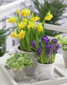 Spring bulbs on pots