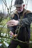 Pruning pear tree