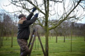 Pruning apple tree