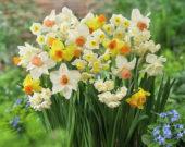 Narcissus mixed