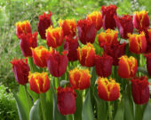Tulipa Crispy Artair, Valery Gergiev