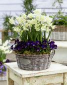 Narcissus Alaska