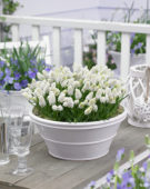 Muscari aucheri White Magic ®