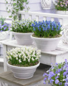 Muscari aucheri Magic ® collection