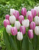 Tulipa Ice Cap, Kasia