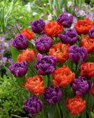 Tulipa Dutch Monarch, Color Burst
