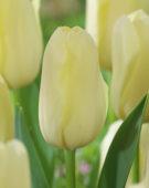 Tulipa Bollene