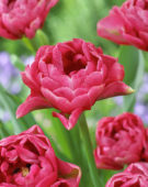 Tulipa double pink