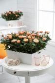 Rosa Peach Cordana