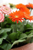 Gerbera mixed