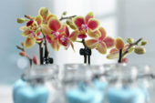 Phalaenopsis Table Dance hybride