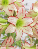 Hippeastrum Stips and Stripes ®