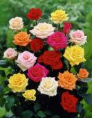 Rosa mixed