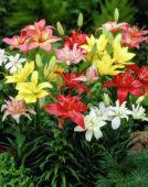 Lilium double mixed