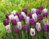 Tulipa Flaming Flag, Purple Flag