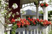 Begonia Solenia