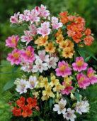 Alstroemeria collection