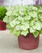 Heuchera Silver Dollar