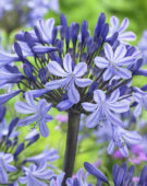 Agapanthus Montreal