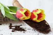 Tulips on trowel