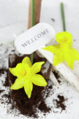 Daffodils on trowel
