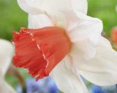Narcissus Magic Charm