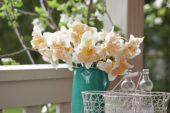 Narcissus Apricot Star