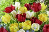 Tulipa Madonna mix