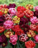 Tulipa dubbel mix