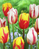 Tulipa Happy Generation, Holland Queen