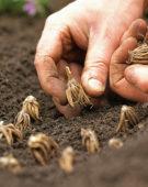 Planting summer bulbs, Ranunculus