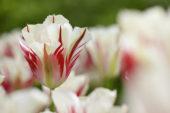 Tulipa Flaming Springgreen