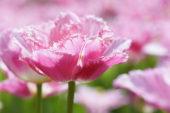 Tulipa Dallas