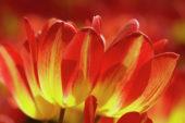 Tulipa Florette